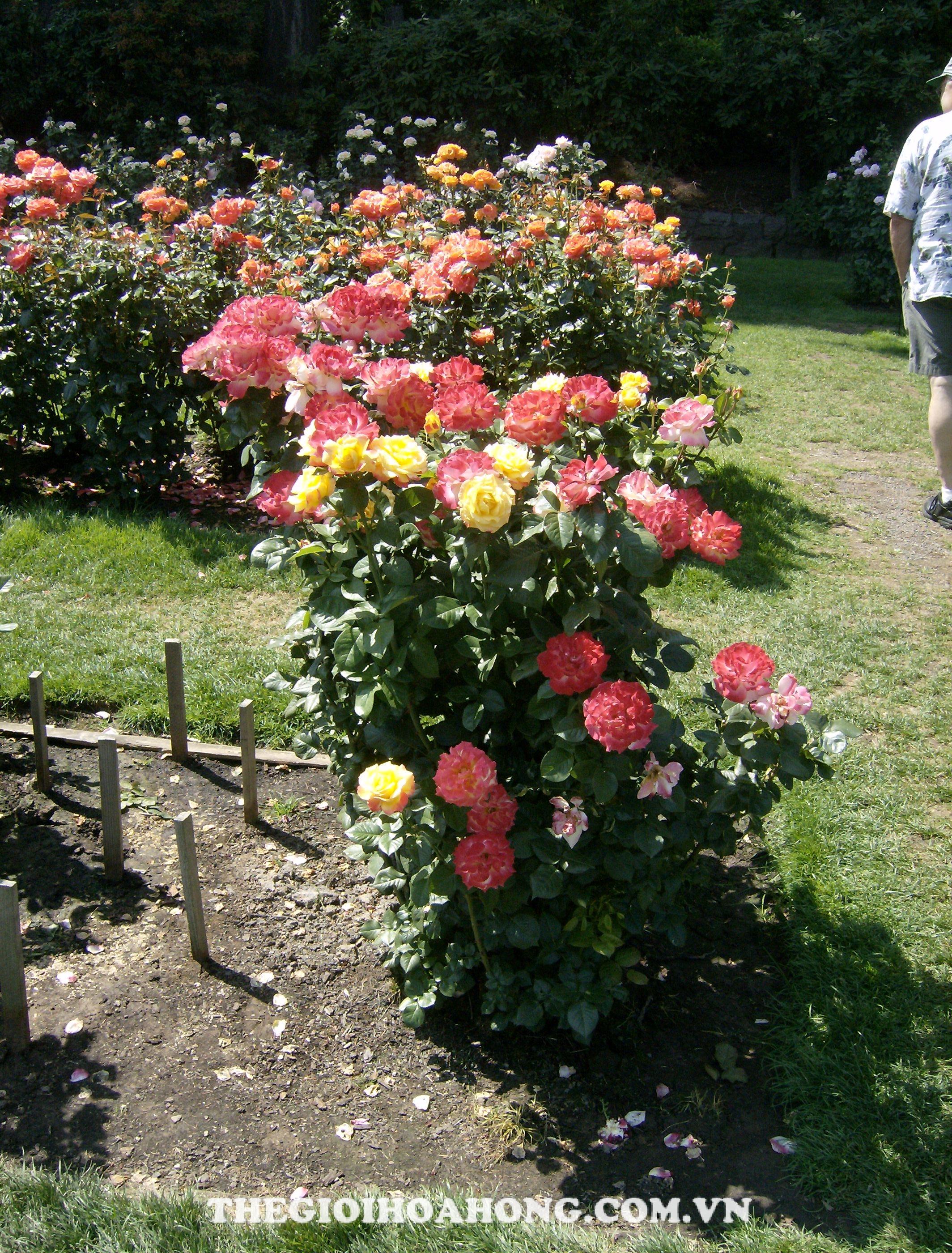 Cách chăm sóc hoa hồng cho ra nhiều hoa mà ai cũng muốn biết (1)