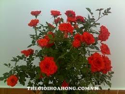 Cách chăm sóc hoa hồng cho ra nhiều hoa mà ai cũng muốn biết (4)