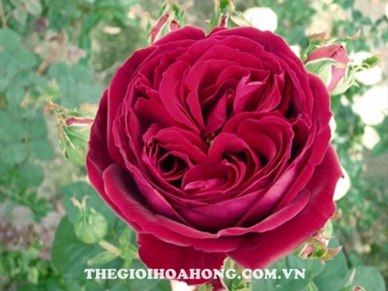 Cách chăm sóc Hoa hồng leo Gospel xinh đẹp (1)