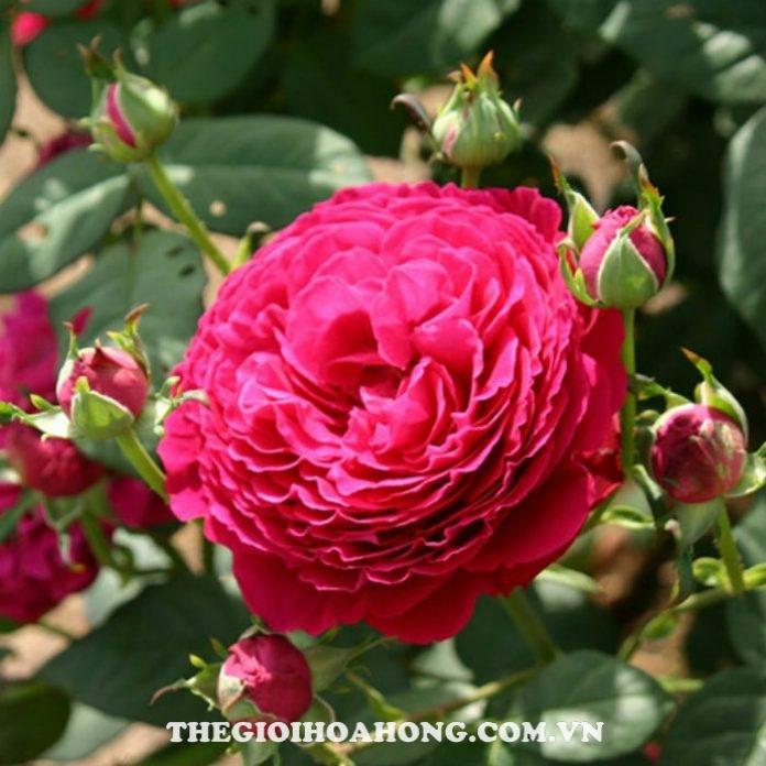 Cách chăm sóc Hoa hồng leo Gospel xinh đẹp (2)
