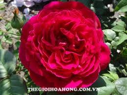 Cách chăm sóc Hoa hồng leo Gospel xinh đẹp (3)