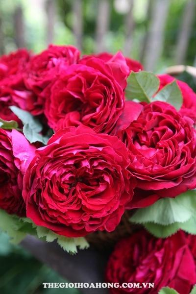 Cách chăm sóc Hoa hồng leo Gospel xinh đẹp (4)