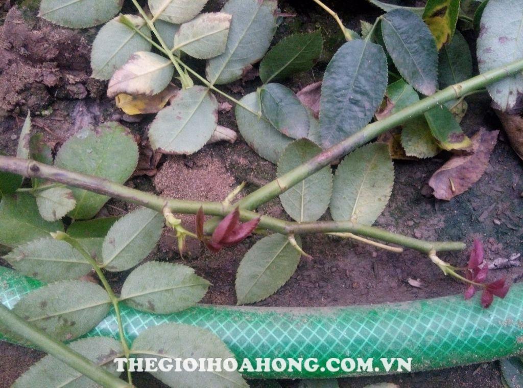 Quan sát thân cây bị nấm bệnh hoa hồng