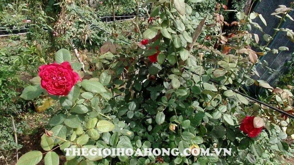 Cách chăm sóc và cắt tỉa hoa hồng ngoại dạng bụi (1)