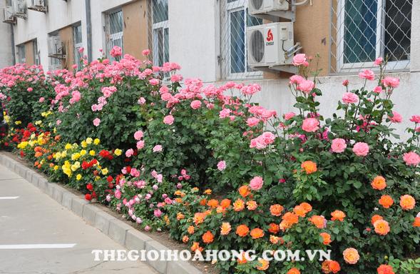 Cách chăm sóc và cắt tỉa hoa hồng ngoại dạng bụi (2)