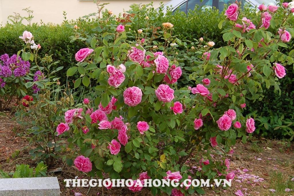 Cách chăm sóc và cắt tỉa hoa hồng ngoại dạng bụi (3)