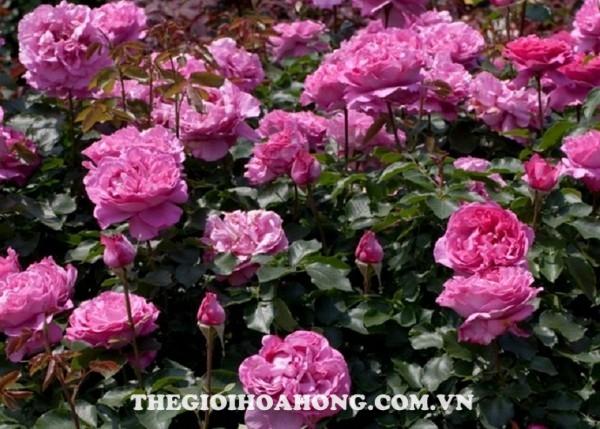 Cách chăm sóc và cắt tỉa hoa hồng ngoại dạng bụi (4)