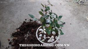Cách chăm sóc và thay chậu cho cây hồng Đà Lạt (1)