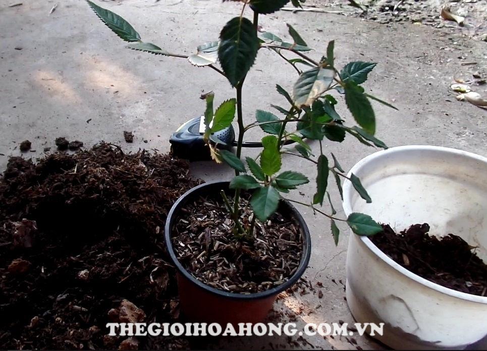 Cách chăm sóc và thay chậu cho cây hồng Đà Lạt (2)