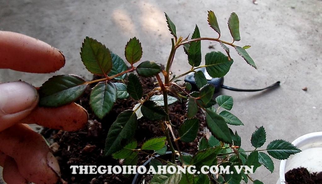 Cách chăm sóc và thay chậu cho cây hồng Đà Lạt (4)