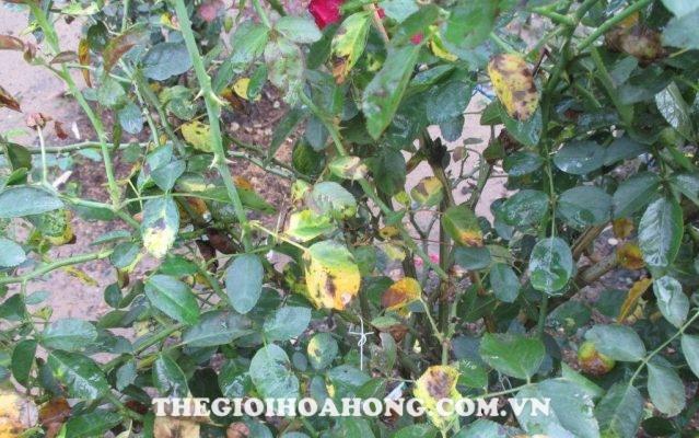Cách chữa trị cây hoa hồng bị bệnh đốm đen (1)