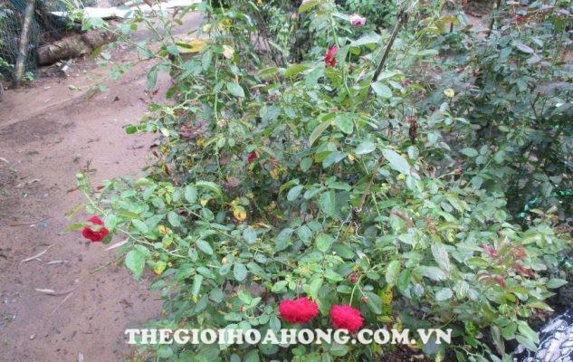 Cách chữa trị cây hoa hồng bị bệnh đốm đen (2)