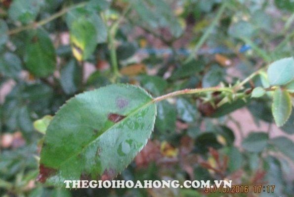 Cách chữa trị cây hoa hồng bị bệnh đốm đen (3)