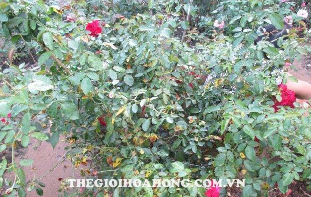 Cách chữa trị cây hoa hồng bị bệnh đốm đen (4)