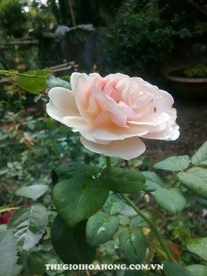 Cách ghép hoa hồng leo Thiên Hương (2)