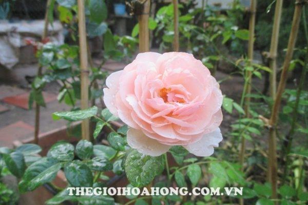 Cách ghép hoa hồng leo Thiên Hương (3)