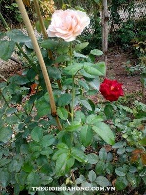 Cách ghép hoa hồng leo Thiên Hương (4)