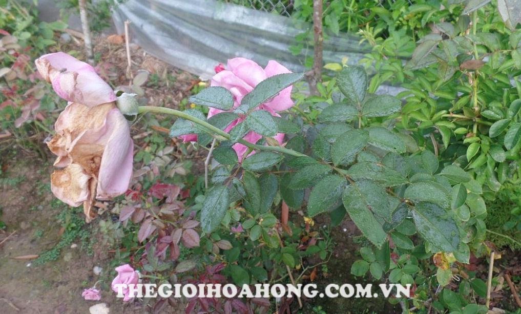 Cách pha thuốc phòng ngừa nấm bệnh cho cây hồng (1)