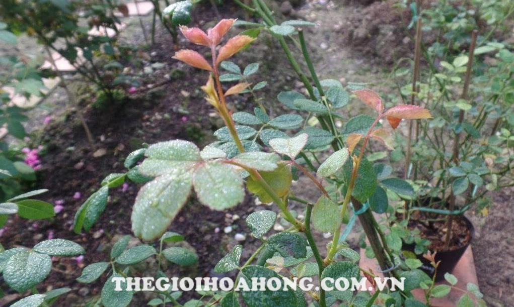 Cách pha thuốc phòng ngừa nấm bệnh cho cây hồng (2)