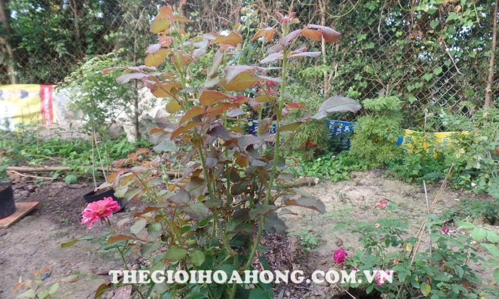 Cách pha thuốc phòng ngừa nấm bệnh cho cây hồng (3)