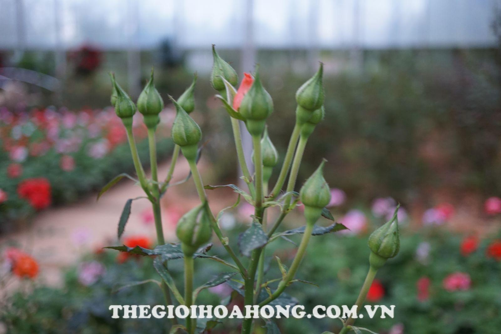 Cách pha thuốc phòng ngừa nấm bệnh cho cây hồng (4)