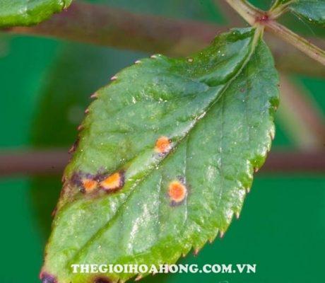 Cách phòng tránh một số bệnh thường gặp ở hoa hồng trồng chậu (2)