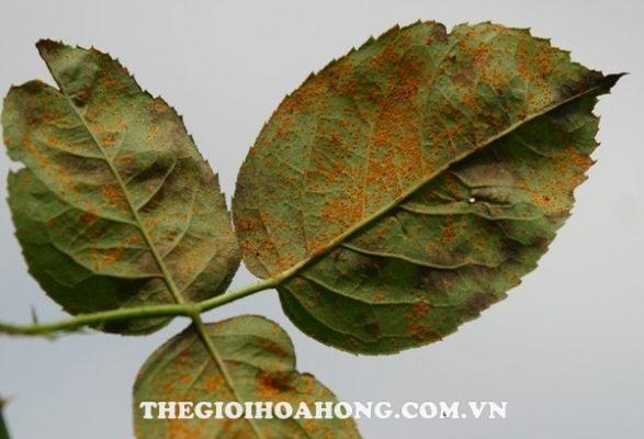 Cách phòng tránh một số bệnh thường gặp ở hoa hồng trồng chậu (3)