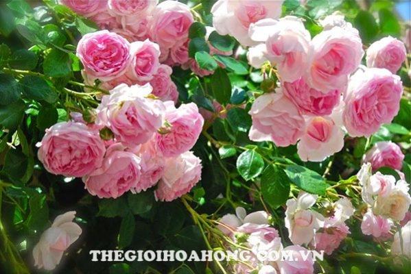 Cách trồng hoa hồng David Austin (2)