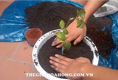 Cách trồng hoa hồng David Austin (3)