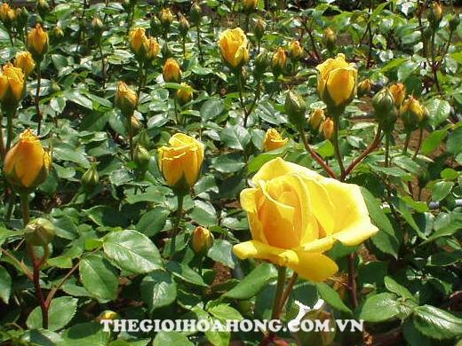 Cách trồng hoa hồng Đà Lạt cho hoa to đẹp (1)