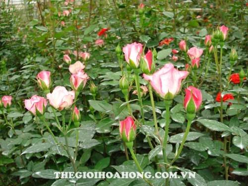 Cách trồng hoa hồng Đà Lạt cho hoa to đẹp (2)