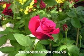 Cách trồng hoa hồng Đà Lạt cho hoa to đẹp (3)