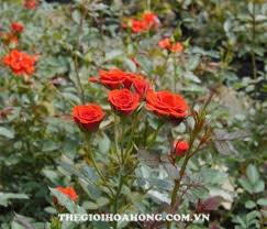 Cách trồng hoa hồng Đà Lạt cho hoa to đẹp (4)