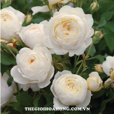 Cách trồng hoa hồng leo bằng cành như thế nào? (3)