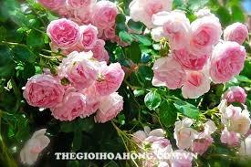 Cách trồng hoa hồng leo bằng cành như thế nào? (4)