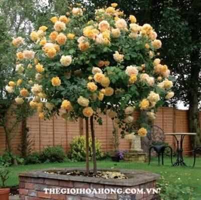 Cách trồng hoa hồng leo trong chậu đơn giản (1)
