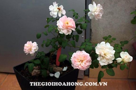 Cách trồng hoa hồng leo trong chậu đơn giản (2)