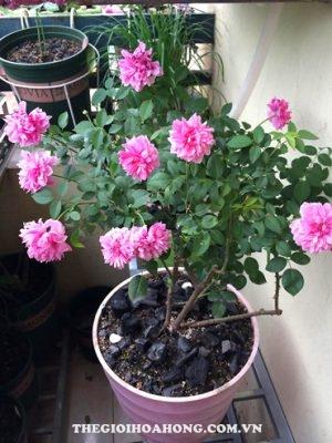 Cách trồng hoa hồng leo trong chậu đơn giản (3)
