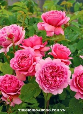 Cách trồng hoa hồng leo trong chậu đơn giản (4)