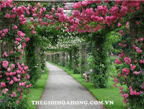 Cách trồng hoa hồng leo tường cho hoa to đẹp (1)