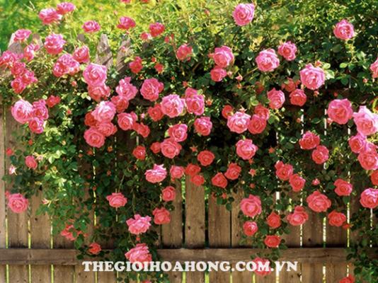 Cách trồng hoa hồng leo tường cho hoa to đẹp (2)