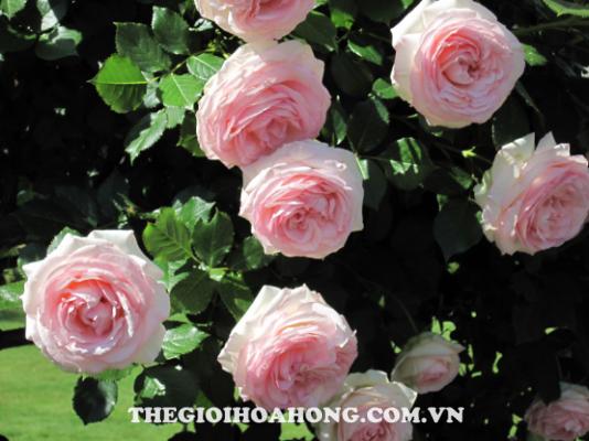 Cách trồng hoa hồng leo tường cho hoa to đẹp (3)