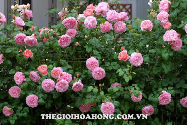 Cách trồng hoa hồng leo tường cho hoa to đẹp (4)