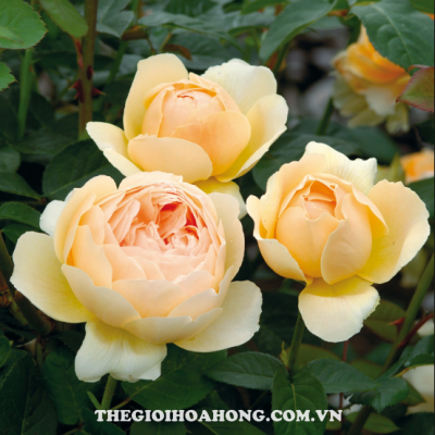 Cách trồng và chăm sóc cây hoa hồng leo (1)