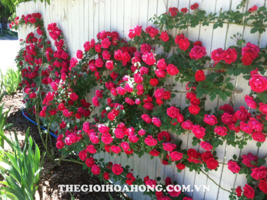 Cách trồng và chăm sóc cây hoa hồng leo (2)