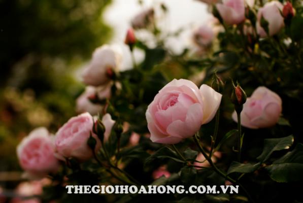 Cách trồng và chăm sóc cây hoa hồng leo (3)