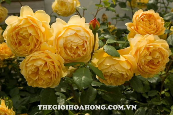 Cách trồng và chăm sóc cây hoa hồng leo (4)