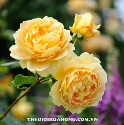 Hướng dẫn cách trồng và chăm sóc hoa hồng leo ra hoa (2)