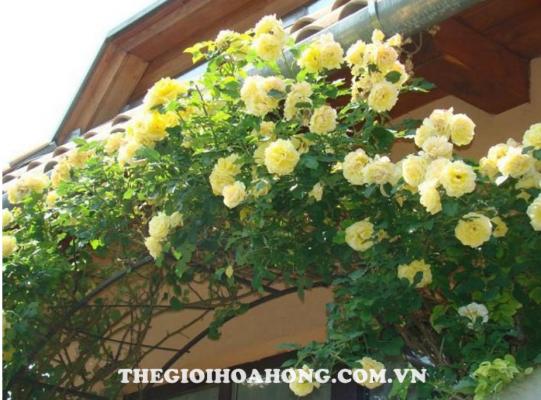 Cách trồng và chăm sóc hoa hồng leo Thái (4)