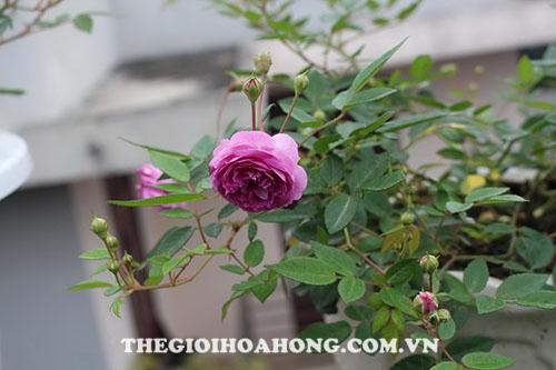 cách cắt tỉa nhánh hồng Lavender Crystal rose